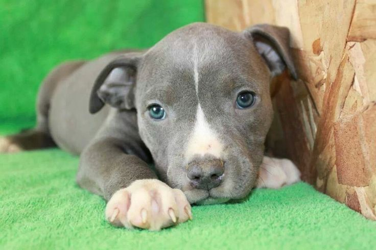 Pitbull dog brown